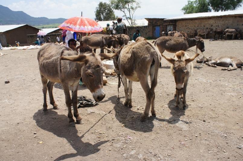 Homing donkeys